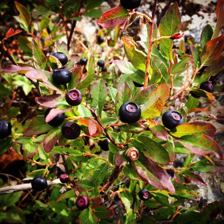 The huckleberries have started to ripen. Time to get your bellies full ! #houstonhikers #houstonbc