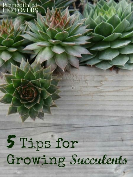 Use these 5 tips to keep your succulents growing strong and healthy. From picking the right soil to when to fertilize, these tips help take the guessing out of taking care of your succulents.