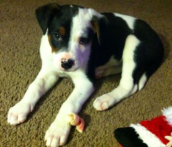 Boxer Rottweiler Mix Puppy
