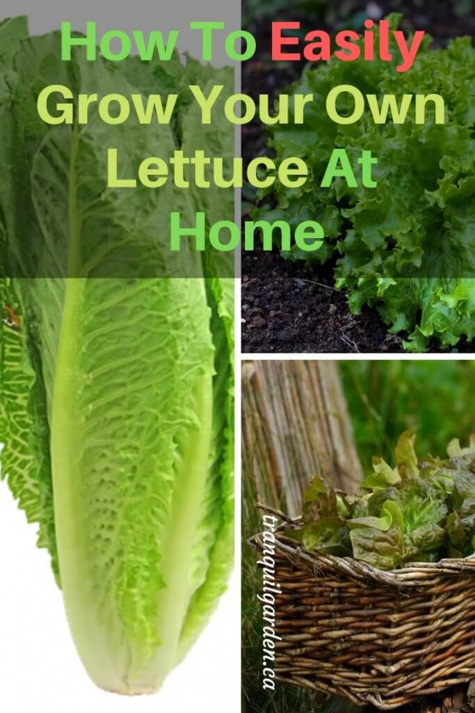 Growing Lettuce At Home Easily Learn How In A Few Simple Steps