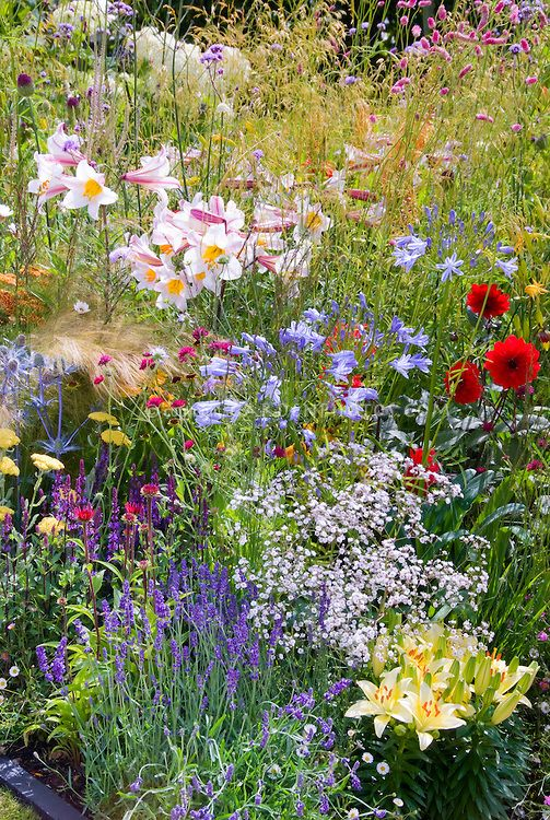 Lilium lilies, blue flowers of Agapanthus lily-of-the-Nile, ornamental grasses, Gypsophilia baby's breath, red Dahlia, Eryngium, yellow Achillea,spikey blue eryngium herb Lavandula lavender, in mixed flower garden of perennials and herbs in varying heights, textures, colors