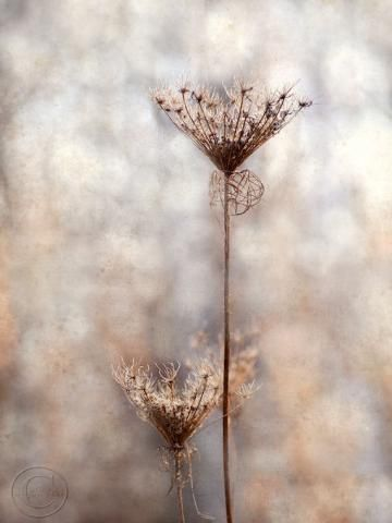 "Queen Anne's Lace in Winter Flower Print 9"" X 12"" Fine Art Photography, November Memories, Wildflower by BeneathNorthernSkies for $32.00"