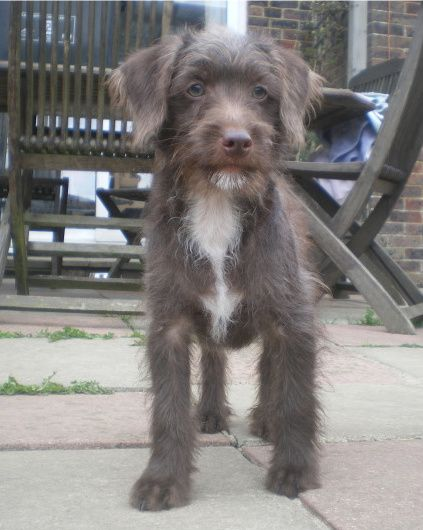 Jackapoo- jack russell terrier cross poodle (Ben)/ we have had these make great pets!