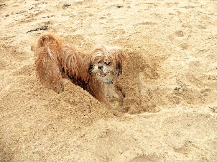 Pixel - Beach Fun #dog #melbourne #beach