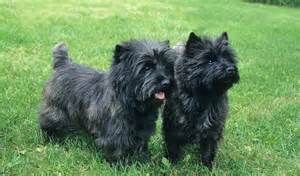 Cairn Terrier Personality Traits - Bing images