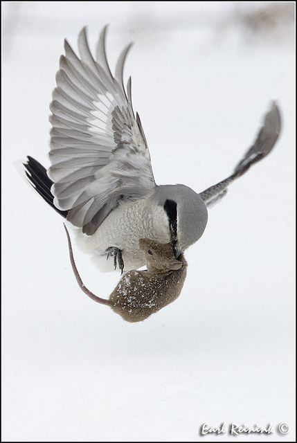 northern shrike (photo by earl reinink)