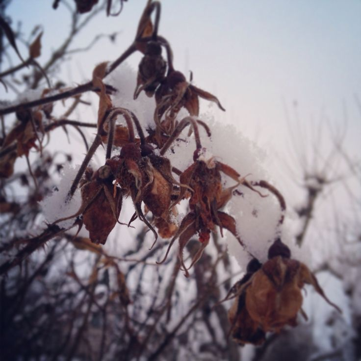 A memory of a summer past. Frozen roses in the midwinter.
