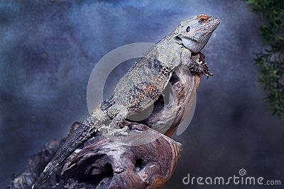 Central Bearded Dragon, species of agamid lizard