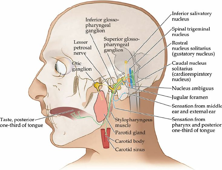 Fig. 1 Summary of the glossopharyngeal nerve sensory and motor pathways (Image from page 531 of Figure 12.20 from Blumenfeld: Neuroanatomy Through Clinical Cases, Second Edition [1]) *Permission to use the image has been granted by the editors