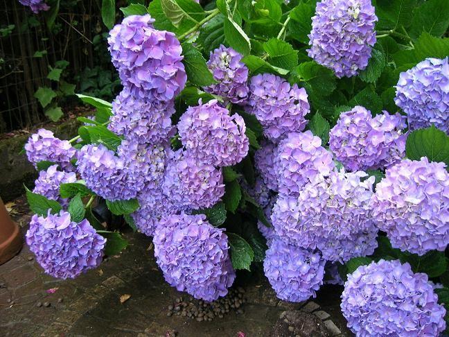 paarse hortensia's wie weet hoe je ze paars krijgt? laat het eens weten via mijn site http://www.mijnwebwinkel.nl/winkel/kleurenfleur/