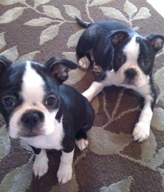 Boston Terrier Information and Pictures, Boston Terriers  MY NEXT DOG!!