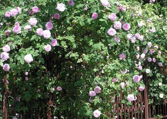 Быстрорастущие кустарники для живой изгороди Живая изгородь из чайной розы - отличное украшение участка