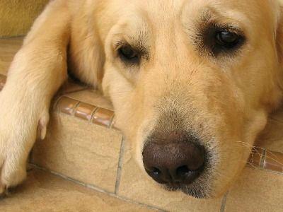 Raiva, mágoa, tristeza…os cães são sensíveis a tudo o que acontece ao redor deles. Saiba o que fazer quando encontrar o seu cachorro triste. Os animais sentem tudo como nós: raiva, depressão,…