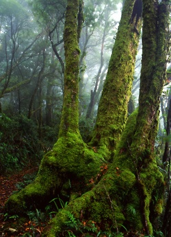 Antarctic Beech are the most incredible trees - relics on the Gondwana age, more than 200 years ago. Nothofagus moorei ~ Antarctic beech only grow in a few spots in Australia they need the unique environment of a cool temperate rainforest between altitudes of 500m - 1500m. Guided walks from @nightfallcamp will lead you to some secluded specimens in Lamington National  park's wilderness end: these personalised trips offer an experience of  Lamington NP without crowds. www.nightfall.com.au
