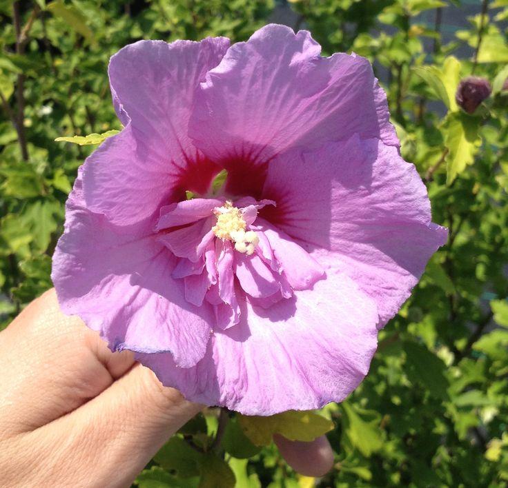 Hibiscus Syriacus Rosa Fiore doppio