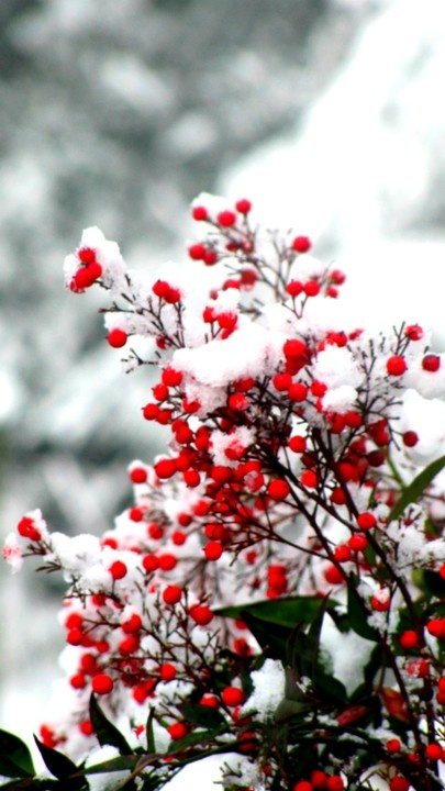 Christmas holly in new fallen snow...