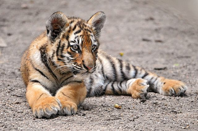 Lounging Amur tiger cub | Flickr - Photo Sharing!