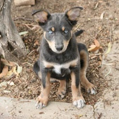 Australian Kelpie puppy. Working dog. Best friend. Gorgeous! My dream dog!!