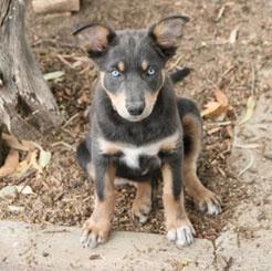 Australian Kelpie puppy. Working dog. Best friend. Gorgeous!