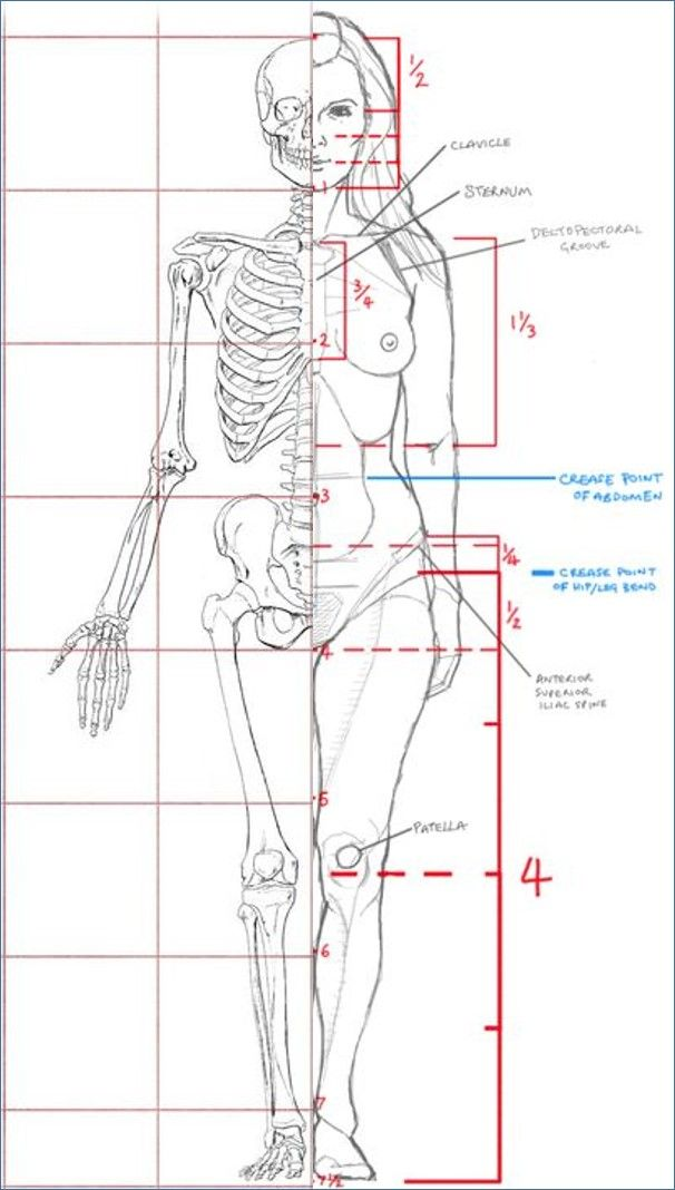John Hartman Illustration. Artistic Anatomy. Dr. Paul Richer Skeletal Study. 7…