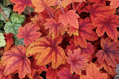 Sweet Tea Heucherella - Shade Perennial - Gallon Pot - Hirt's Gardens