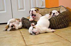 Après avoir vu ces 13 photos de chiots bulldogs, vous allez avoir une méchante envie d'en adopter un
