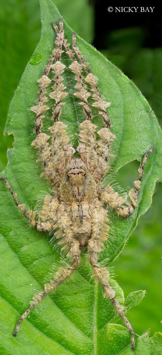This is a beautiful Lichen Huntsman spider. (Not a tarantula) it's camouflage is absolutely stunning!