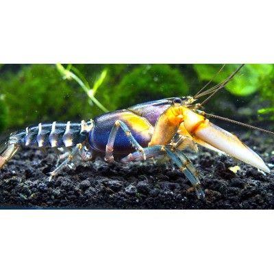 Live Zebra Crayfish/Freshwater Lobster (Beautiful Cherax Variant ...