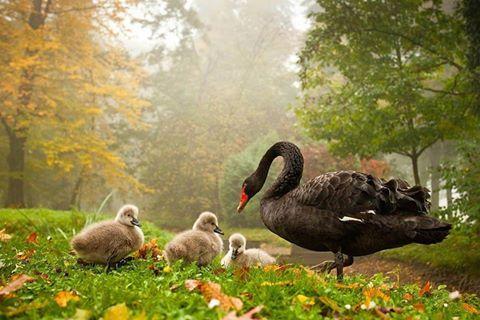 Siyah kuğu ve bebekler