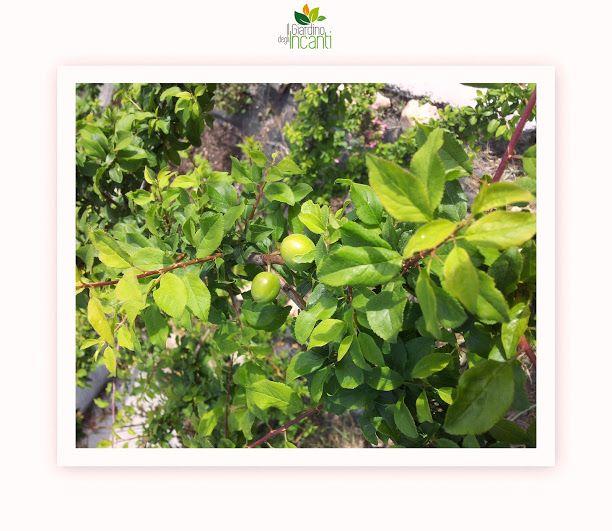 Ed ecco i frutti del nostro Cherry Plum! Non so se tutti lo sapevate, ma la nostra piccola azienda agricola ospita molti dei 38 fiori del Dr. Bach ;)  Read more on: http://www.ilgiardinodegliincanti.com/?page_id=65  #fiori_di_Bach_nelle_Marche