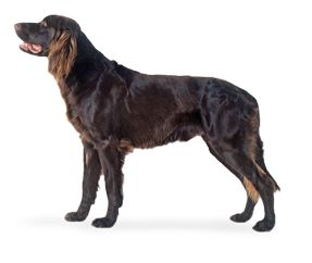 Cane da ferma Tedesco a pelo lungo