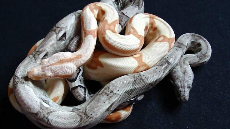 Sunglow And Me: Best 25+ Boa Constrictor Ideas On Pinterest