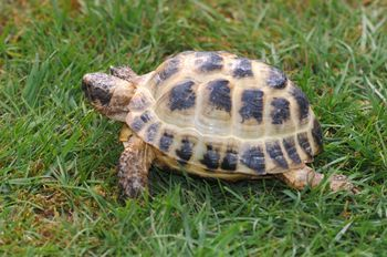 Introduction to Hermann's tortoises and their care as pets, including size, feeding, and supplements, along with indoor and outdoor housing information.
