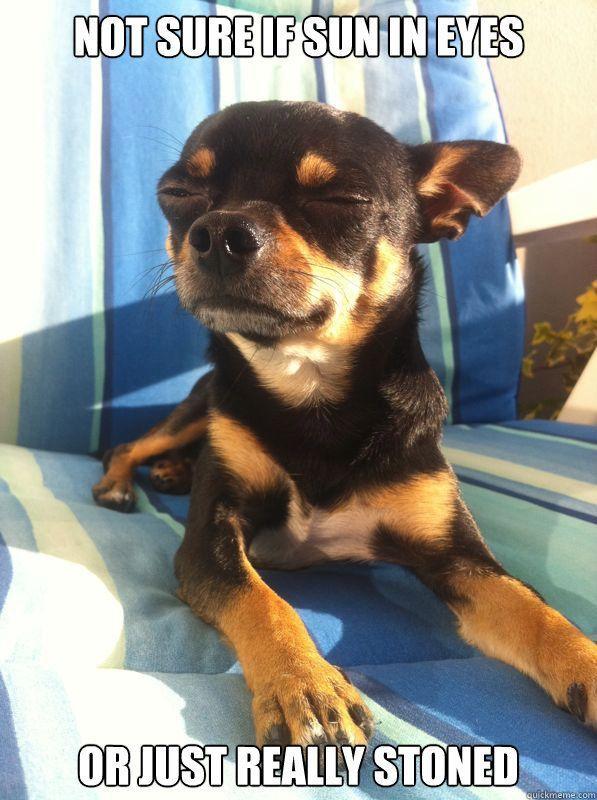 Funny Chihuahua Memes Google Search Pom Amp Chihuahua