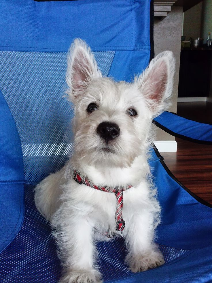 17 best images about westie cuteness  u0026 attitude  on pinterest
