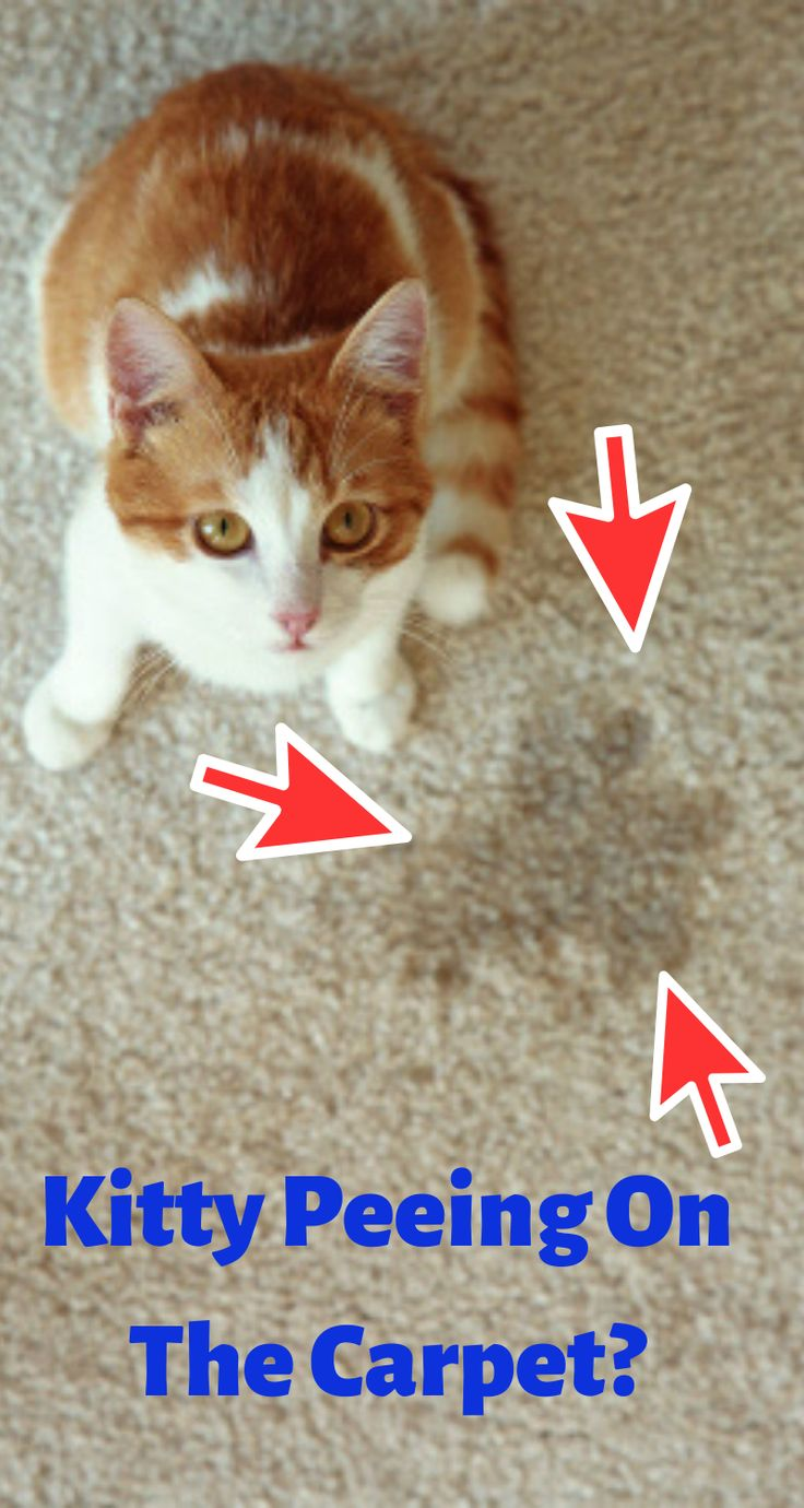 Cats peeing on the carpet makes you about how cute