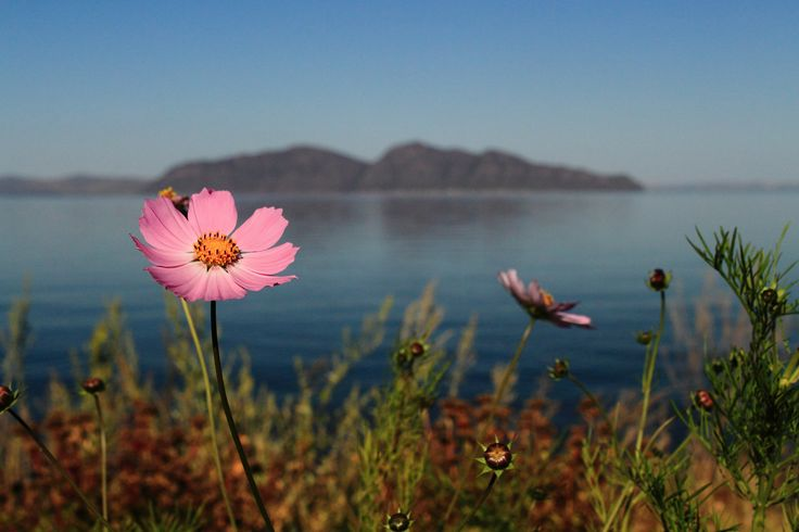https://flic.kr/p/LcdMtU | Cosmos flower on Yenisei River, Khakassia, Russia