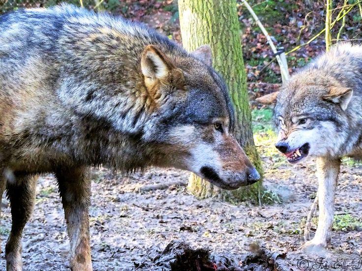 """Photo """"wolven...wieisdeleider???"""" by ellyDS"""