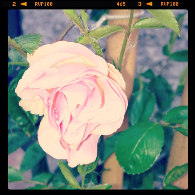La mia rosa banksia