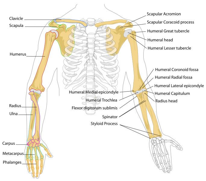 This arm bones diagram shows all the important bones that make up the arms of the human body. They include such bones as the clavicle, scapula, humerus, radius, ulna, carpus, metacarpus, phalanges and more