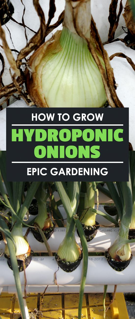 Learn how to grow hydroponic onions in this hydroponic root crop experiment. I break it down and you'll be able to follow along as I go!