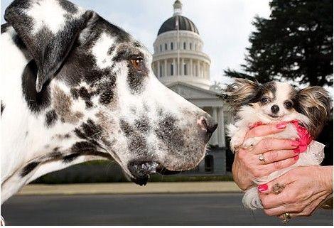 de kleinste en grootste hond ter wereld #gibson & #booboo