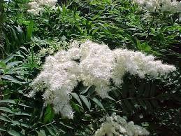 Sorbaria sorbifolia VIITAPIHLAJA-ANGERVO