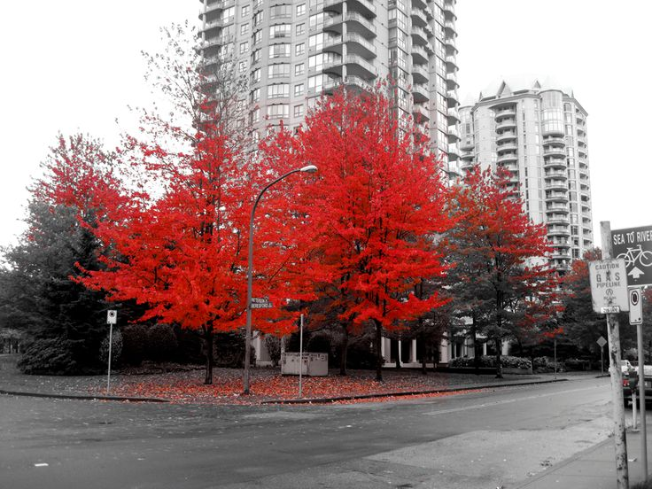 Vivid red leaves on a black and white street | Show Your ...