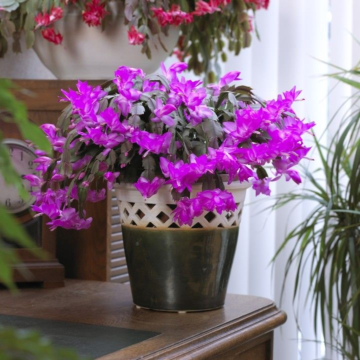 Цветы для ленивых: 10 самых неприхотливых комнатных растений - фото 8