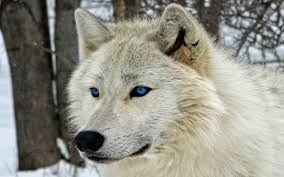 """Résultat de recherche d'images pour """"loup blanc"""""""