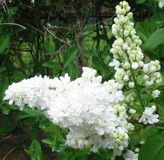 Manito Lilac Garden - A must during late May/Early June.