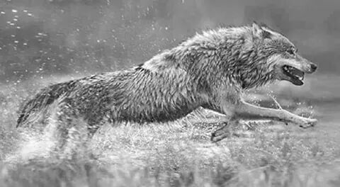 Wolf running thru the water