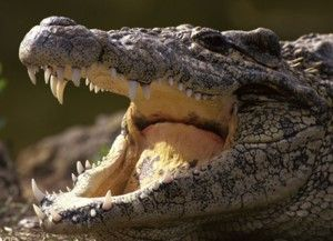 Interesting facts about Crocodiles: Crocodiles sleep with one eye open. Crocodiles seem to sleep a lot - but do not be fooled because very often they only appear to be sleeping.   Where do