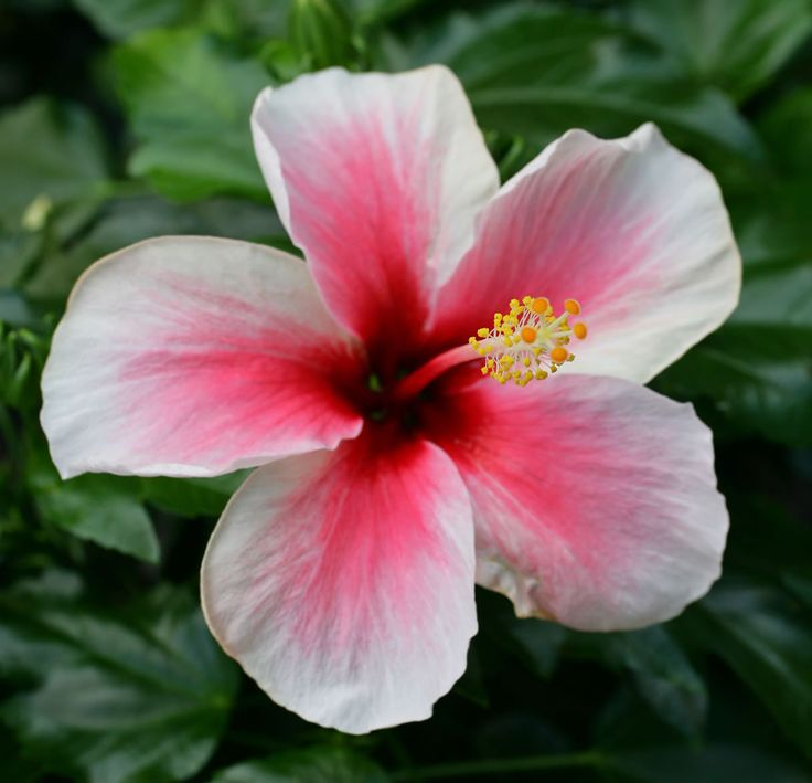 Hawaii's state flower is the Hawaiian Hibiscus. Description from pinterest.com. I searched for this on bing.com/images